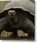 Indefatigable Island Tortoise Galapagos Metal Print