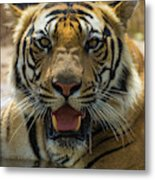 India Male Bengal Tiger (pantera Tigris Metal Print