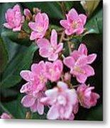 Indian Hawthorn Blossoms Metal Print