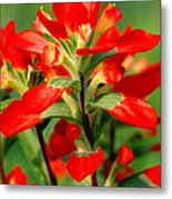 Indian Paintbrush I I Metal Print
