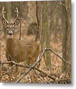 Indiana Buck  Metal Print