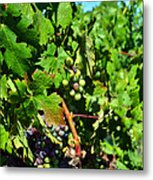 Inglenook Vineyard -10 Metal Print