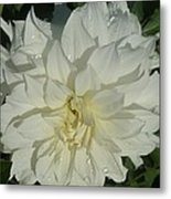 Innocent White Dahlia  Metal Print