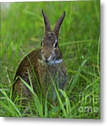 Inquisitive Rabbit Watching You Metal Print