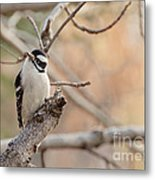 Inquisitive Woodpecker Metal Print