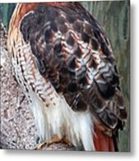 Inquisitve Red Tailed Male Hawk Metal Print