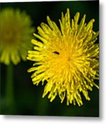 Insects On A Dandelion Flower - Featured 3 Metal Print