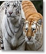Intent Tigers Metal Print