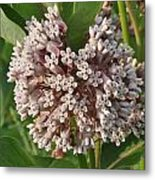 Into The Heart Of A Milkweed Flower Metal Print