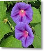 Ipomea Acuminata Morning Glory Metal Print
