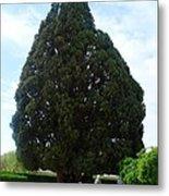Iran Yazd Cedar Tree Metal Print
