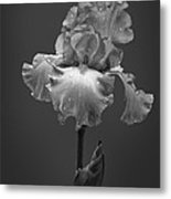 Iris After The Rain Metal Print