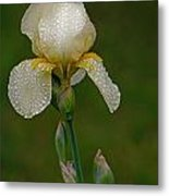 Iris After The Rain Metal Print by Mamie Thornbrue