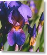 Iris Bloom Metal Print