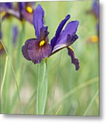Iris Hollandica 'eye Of The Tiger' Metal Print by Tim Gainey