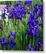 Iris In The Field Metal Print