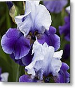 Iris Purple And White Fine Art Floral Photography Print As A Gift Metal Print
