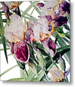 Watercolor Of Tall Bearded Irises I Call Iris Vivaldi Spring Metal Print