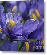 Iris With Raindrops Metal Print