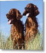Irish Red Setter Dog Metal Print