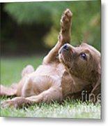 Irish Setter Puppy Metal Print