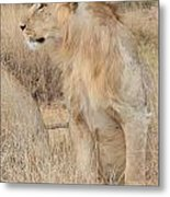 Isolated Lion Staring Metal Print