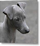 Italian Greyhound Puppy Metal Print