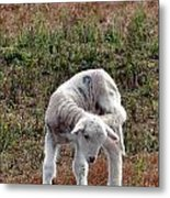 Itch And Scratch Metal Print