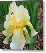 Ivory And White Iris Metal Print