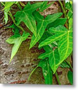 Ivy Wrapped Tree Trunk Metal Print