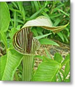 Jack In The Pulpit - Arisaema Triphyllum Metal Print
