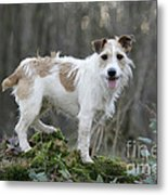 Jack Russell Dog In Autumn Setting Metal Print