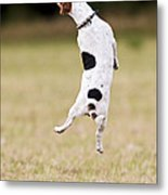 Jack Russell Jumping For Ball Metal Print
