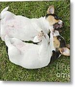 Jack Russell Puppies Metal Print