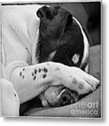 Jack Russell Terrier Dog Asleep In Cute Pose Metal Print by Natalie Kinnear