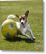 Jack Russell Terrier Plays With Ball Metal Print by Johan De Meester
