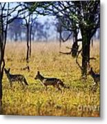 Jackals On Savanna. Safari In Serengeti. Tanzania. Africa Metal Print