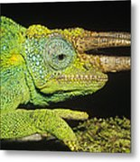 Jacksons Chameleon Male East Africa Metal Print