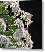 Jade Plant Flowers Metal Print