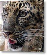 Jaguar-09498 Metal Print