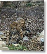 Jaguar 4 Metal Print