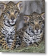 Jaguar Cubs Metal Print