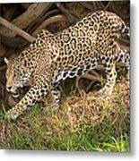 Jaguar Panthera Onca Foraging Metal Print