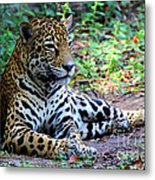 Jaguar Resting From Play Metal Print