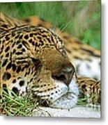 Jaguar Resting Metal Print