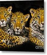 Jaguars Metal Print