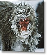 Japanese Macaque Covered In Snow Japan Metal Print