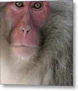Japanese Macaque Metal Print
