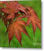Japanese Maple Autumn Colors Metal Print