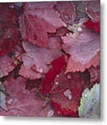 Japanese Maple Leaves With Frost Metal Print